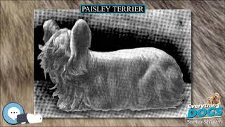 Paisley Terrier  Everything Dog Breeds