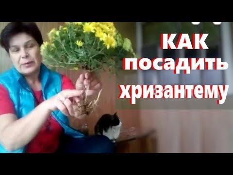 Как сажать корейские шаровидные хризантемы