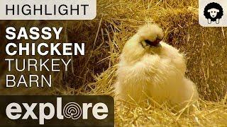 Sassy Chicken - Turkey Barn Livecam Highlight 11/02/17