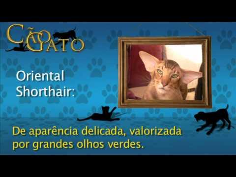 CÃO E GATO - Oriental Shorthair