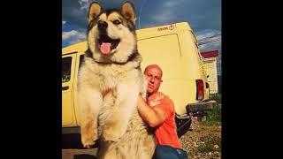 トップ10の最強犬|巨大な犬2016 ... このビデオには世界最大の犬の画像...