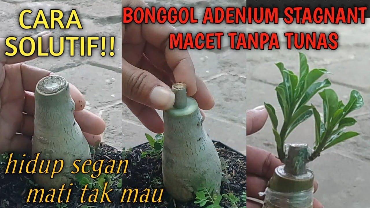 ADENIUM || SOLUSI BONGGOL ADENIUM TANPA MATA TUNAS || CAUDEX STAGNANT
