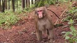 Macaque monkeys / Opice makaki