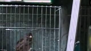 Купить канарейку в Москве, продам Канарейки в Москве видео.