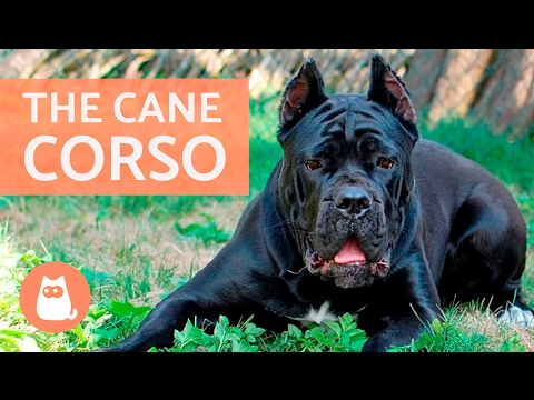 All About the CANE CORSO - Traits and Training!