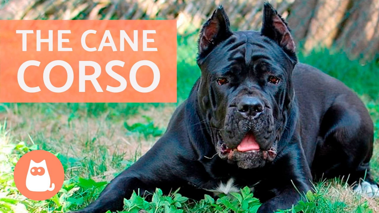 All About The Cane Corso Traits And Training Youtube