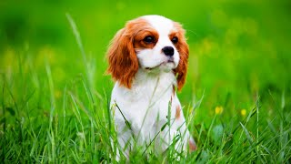 Breeding Lucy the Cavalier King Charles Spaniel During a PANDEMIC