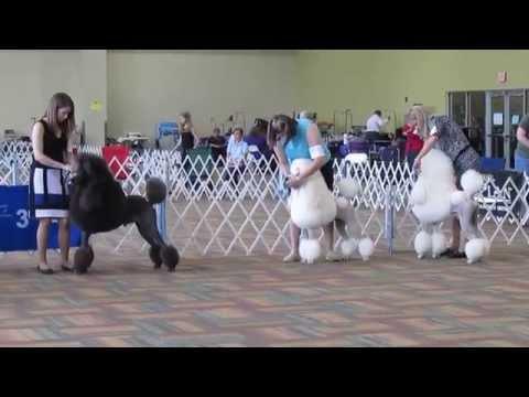 Conformation Dog Show 2014, Standard Poodles