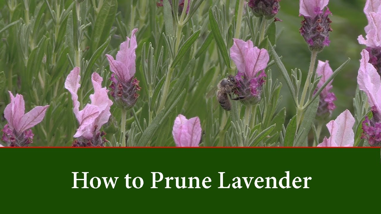 How To Prune Lavender By Cutting Back In Spring Youtube