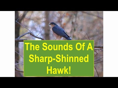 The Sounds Of A Sharp-Shinned Hawk!