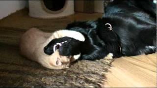 hovawart und kater hund und katze dog and cat