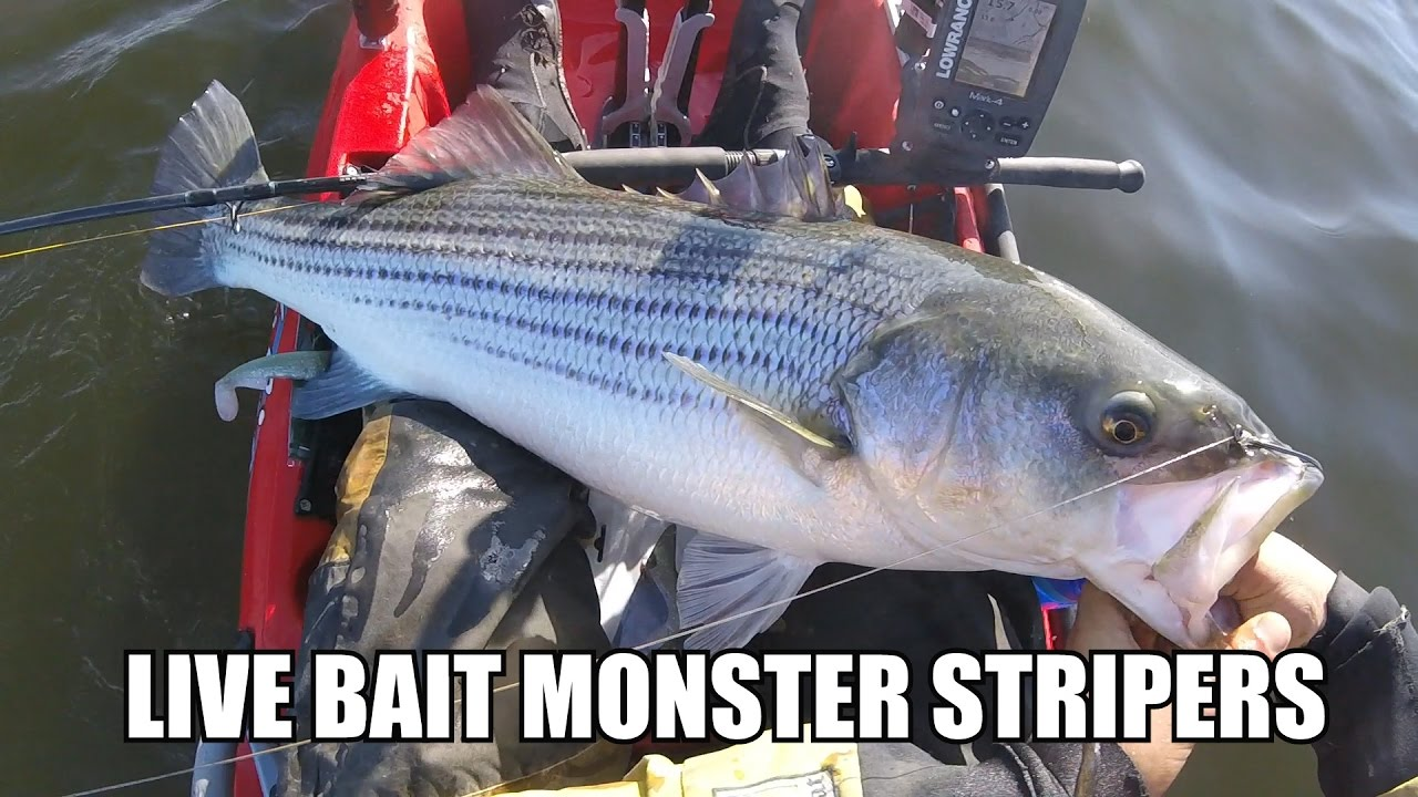How to catch monster striped bass on live bunker live for Bass fishing with live bait