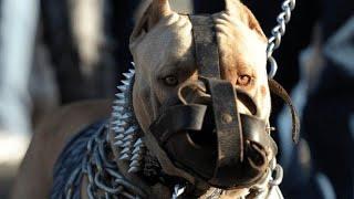 दुनिया के सबसे खतरनाक कुत्तो की प्रजातिया। Most Dangerous Dog Breeds in the World.