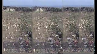 Zibillikdə minlərlə cücə: azərbaycanlı iş adamının xarab bilib atdığı yumurtalardan cücə çıxdı