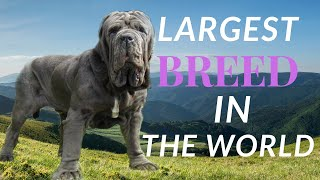 BEST OF NEAPOLITAN MASTIFF | DOG STORM