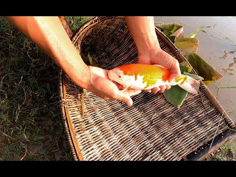 Amazing Finding Beautiful Koi Fish In Koi Farm