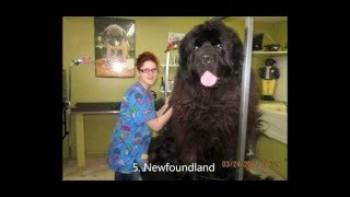 Top 10 Biggest Dogs in the World Bigger than a BEAR