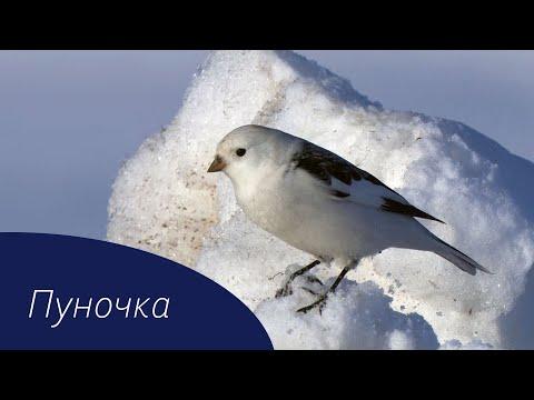 Вопрос: Почему птица пуночка так называется Что значит слово пунак?