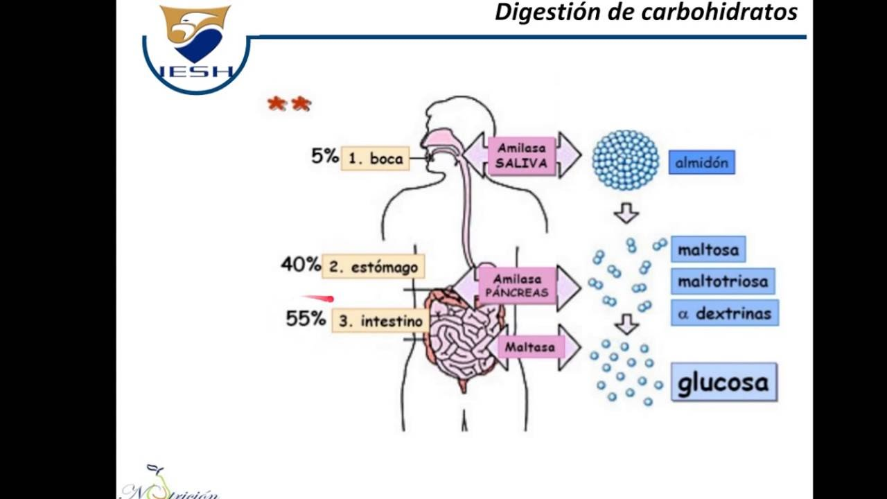 Carbohidratos: Digestion Absorcion y Transporte - YouTube