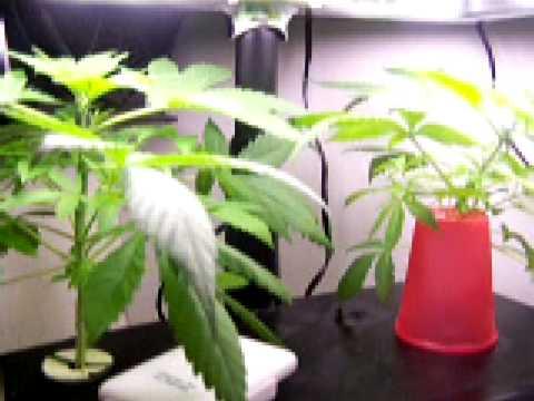 Aerogarden Marijuana Grow G 13 Week 4 Youtube