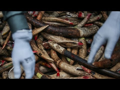 Africa's fight against elephant poaching   Asia's role in ending illegal ivory trade