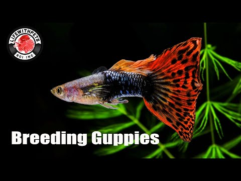 How To Breed Guppies STEP By STEP