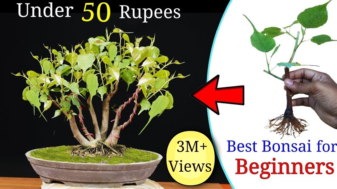 How To Easily Make A Bonsai Tree Under 50 Rupess Best Bonsai For Beginners Youtube