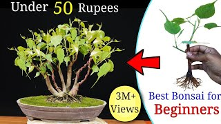 How to easily  make a Bonsai Tree under 50 rupess | Best Bonsai for beginners