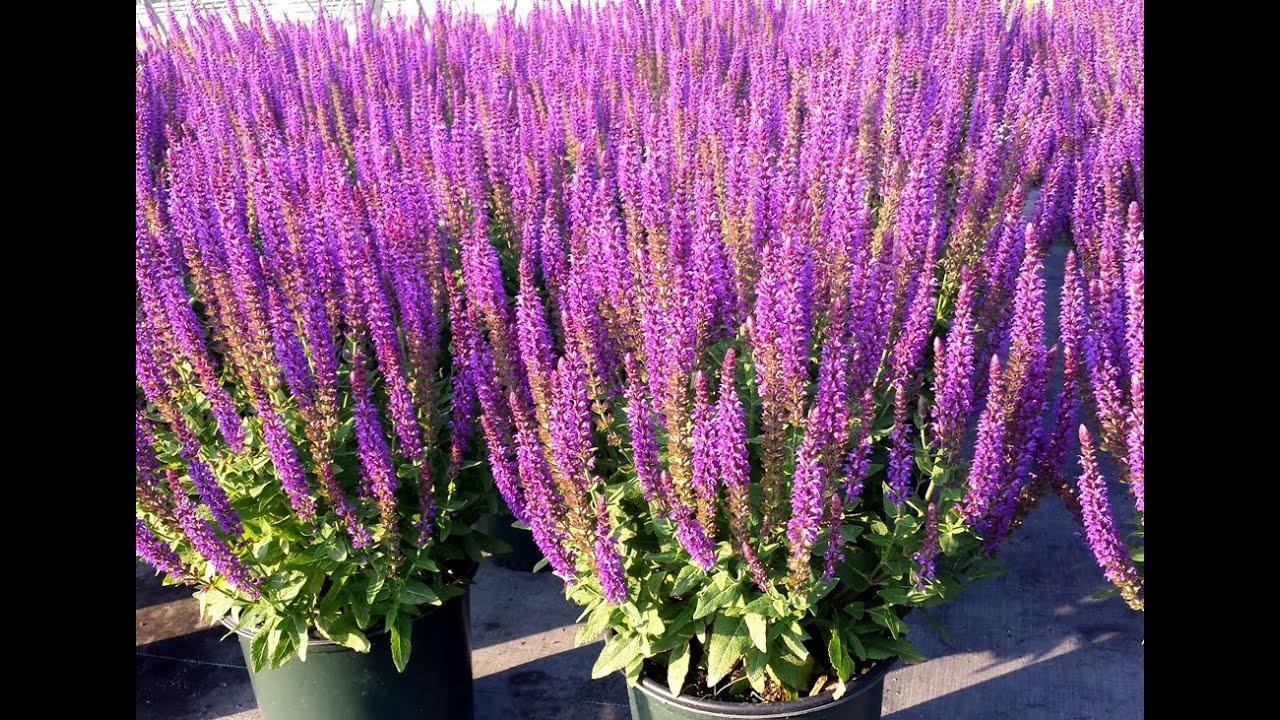 Best Garden Perennials   Salvia East Friesland (Meadow Sage)   YouTube