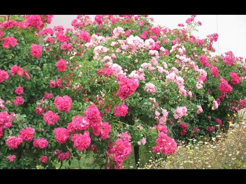 Plant Profile: Flower Carpet® Tree roses