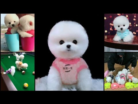 Cute puppies | Funny puppies | baby pomeranian dogs