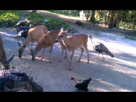 Deer, Turkeys, and Chickens...oh god