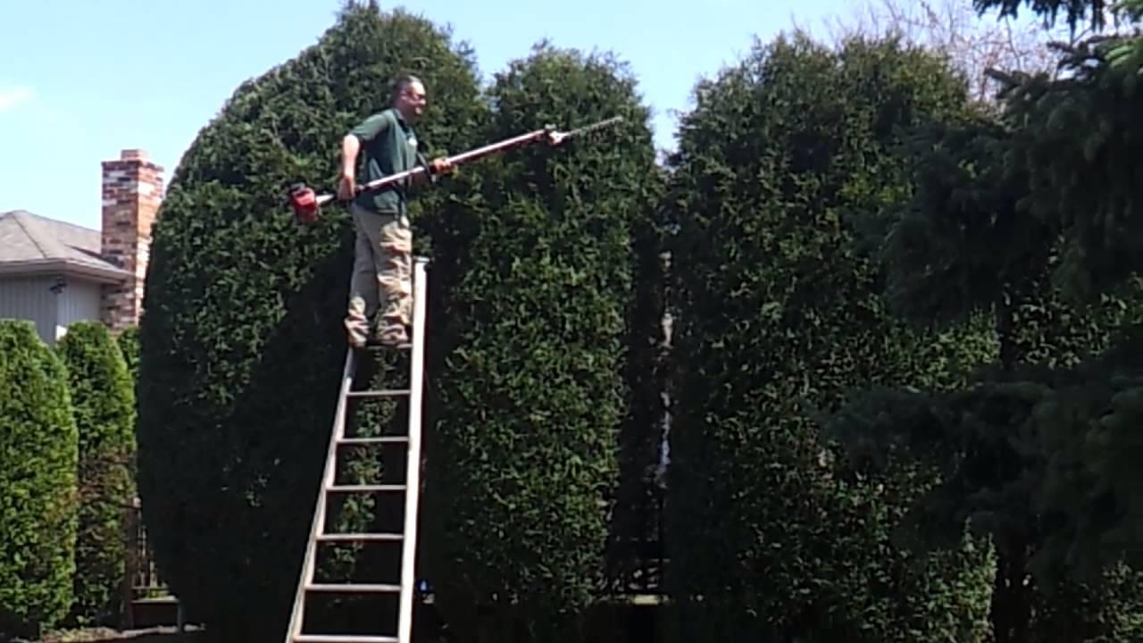 16ft Gigantic Arborvitae Shrub Trimming Youtube