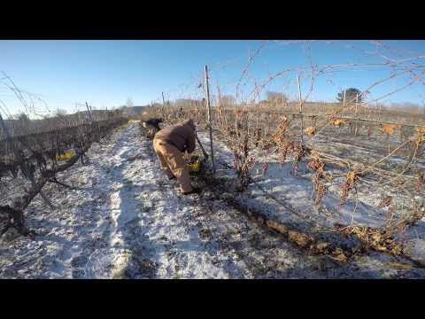 Schotna Ice Wine by Horst