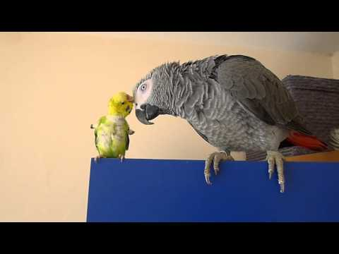 African grey parrot and Budgie are best friends