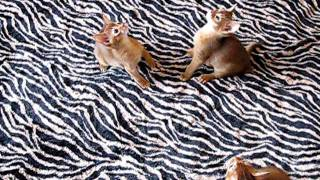 Абиссинские котята O'FISH питомник.avi