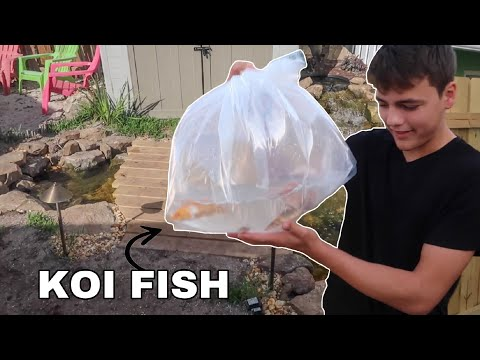 Backyard KOI FISH Pond Gets FISH!!