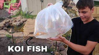 Backyard KOI FISH Pond gets FISH!!