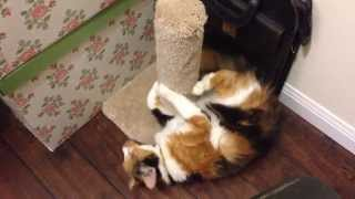 Calico Cat Goes Crazy Over New Scratch Post