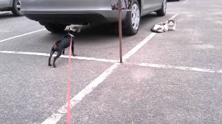 Miniature Pinscher Vs Cat