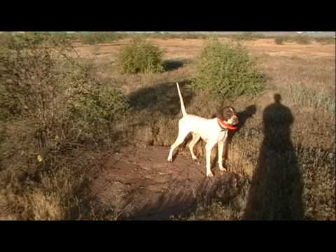English Pointer  – Training Video