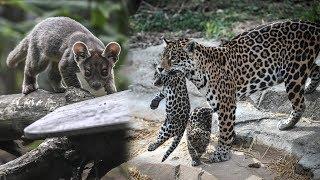 Детёнышей редкой фоссы и ягуара показали в Венсенском зоопарке