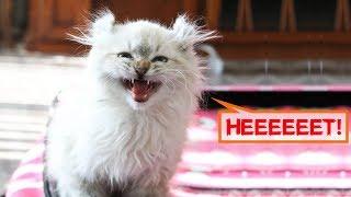 Его нужно усыпить! - сказали врачи, увидев котенка с укороченными лапками. Но судьба…