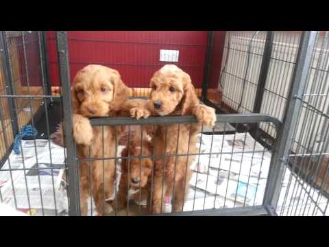 Cockapoo puppies can we come out?