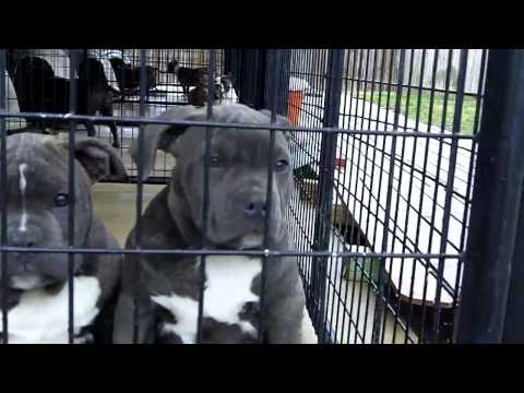 Blue Bully style Pitbulls Puppies for sale