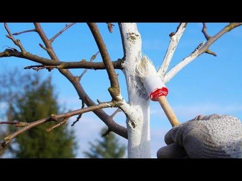 Покраска деревьев на зиму садовой краской. Для чего это нужно?
