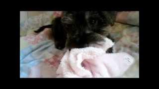 Miniature Schnauzer Puppy Fights A Pink Blanket