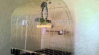 Сенегальский попугай танцует