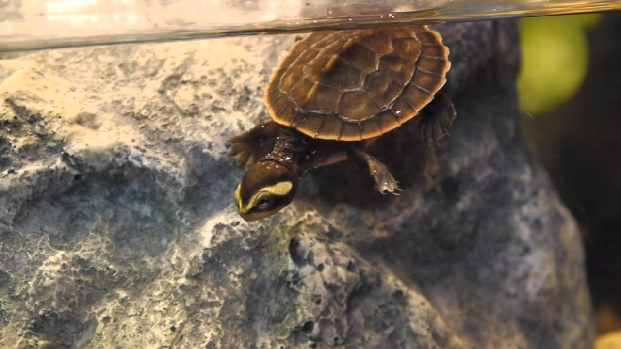 Pink Belly Sideneck Turtle