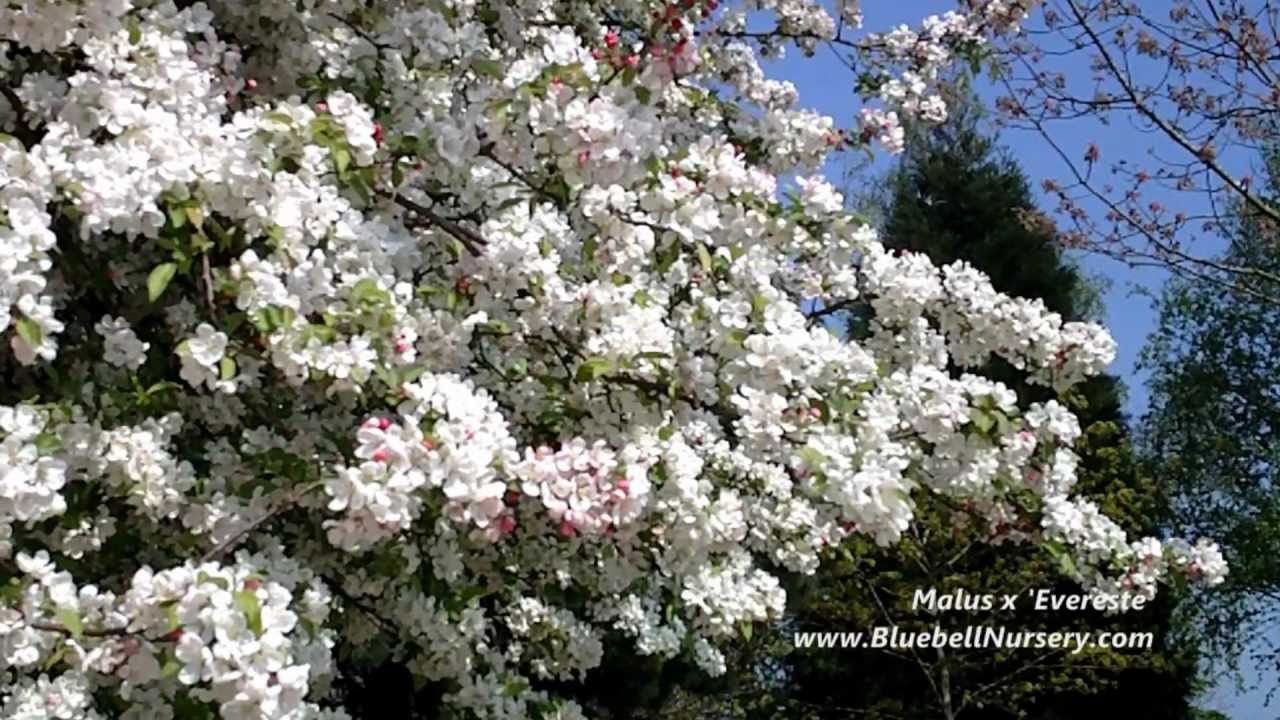 Malus X Evereste Crab Apple Tree Spring Flowers Youtube